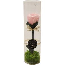 Vrtnica roza preparirana v PVC dekorativni embalaži 6x22cm